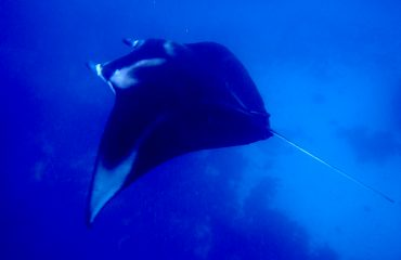 Swimming with manta rays in Raja Ampat